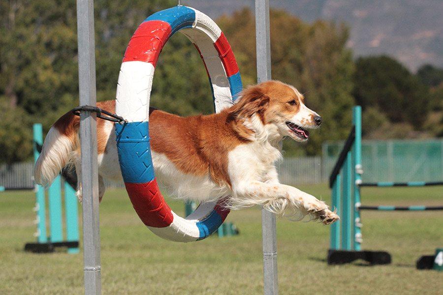Agility (behendigheid) hondensport