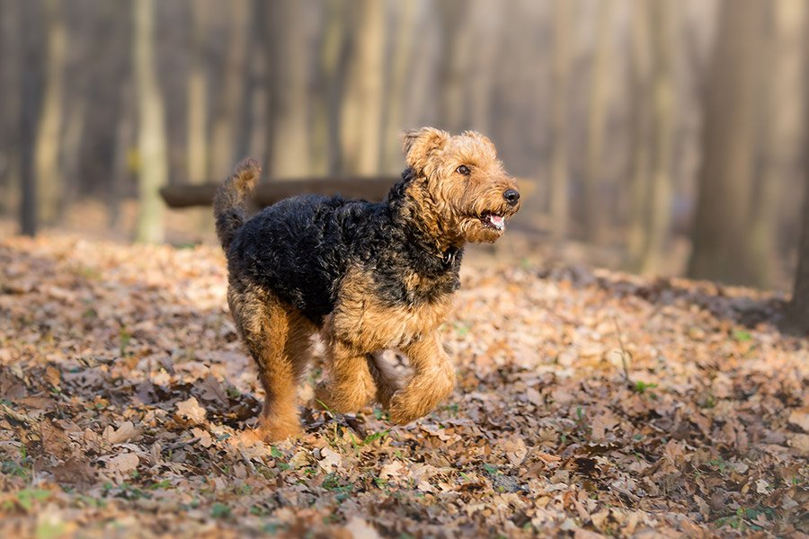 airedale terrier aan het rennen