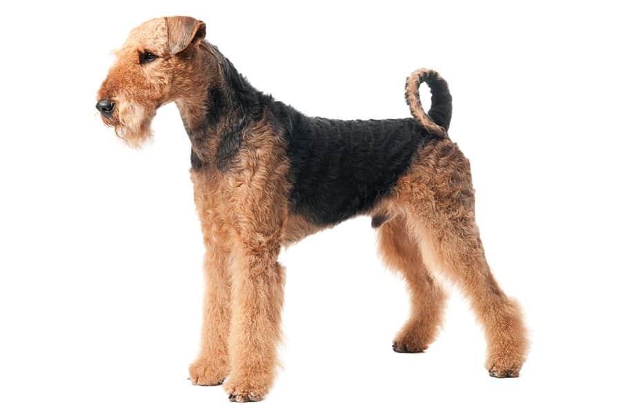 airedale terrier uiterlijke kenmerken