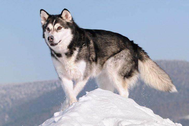 alaska malamute