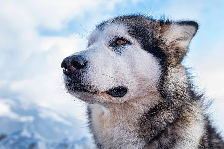 alaska malamute verzorging