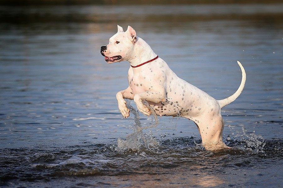 argentijnse dog rent door water