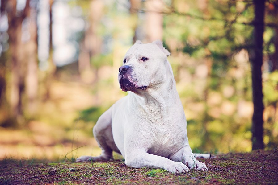 Argentijnse dog of Dogo argentino