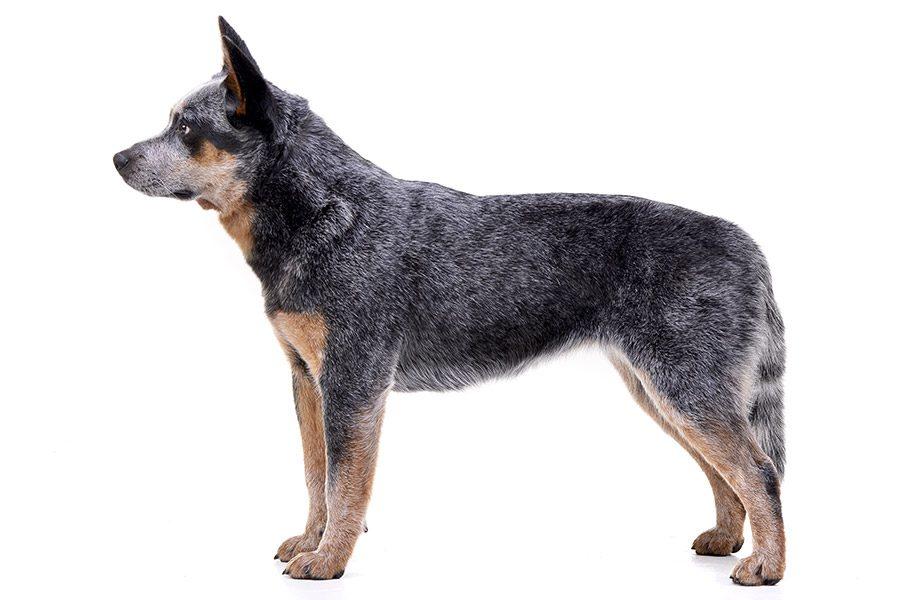 australische veedrijvershond uiterlijk