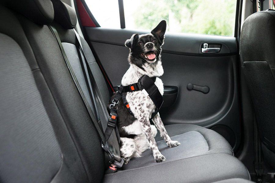 Autogordel voor honden: is een hondenautogordel verplicht?