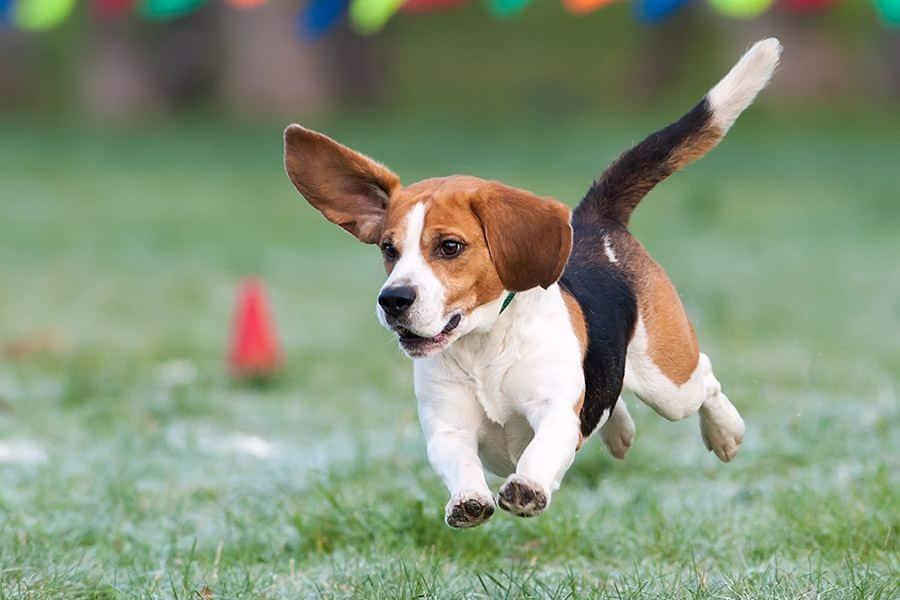 beagle beweging en uitlaten