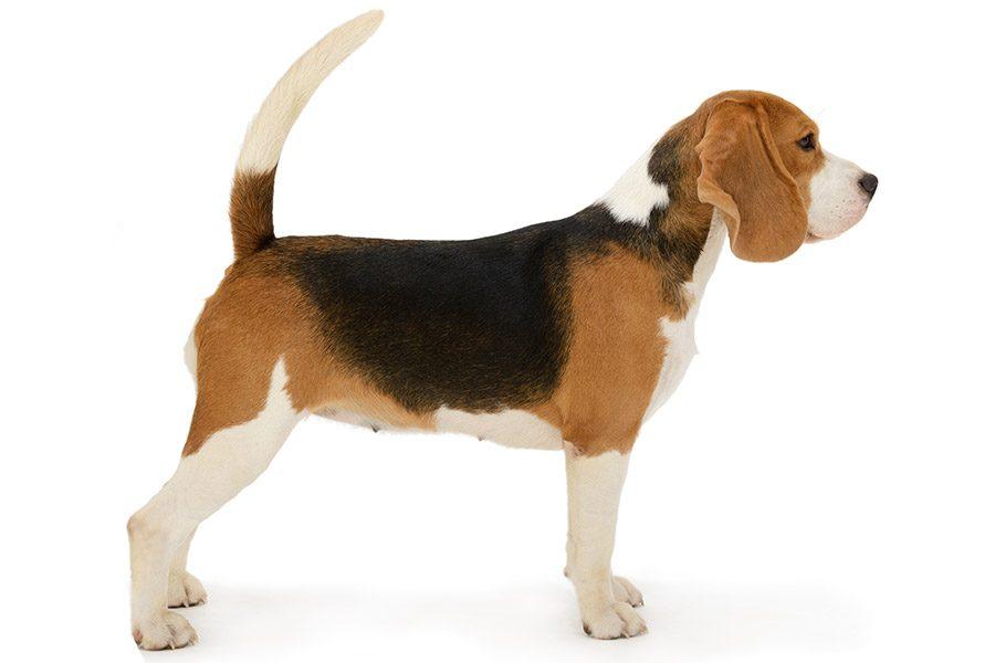 beagle uiterlijke kenmerken