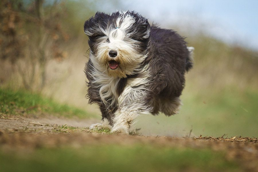 bearded collie rent