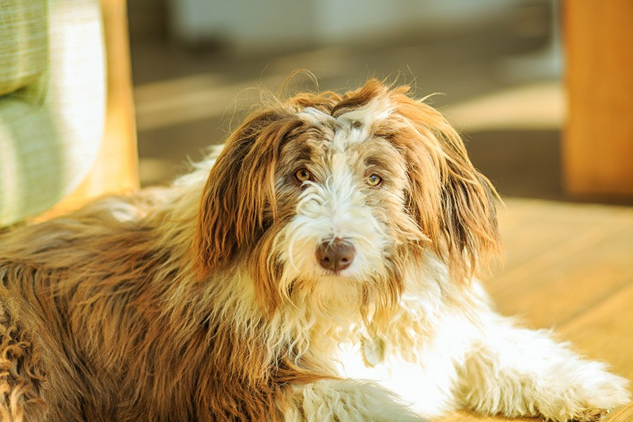 bearded collie verzorging