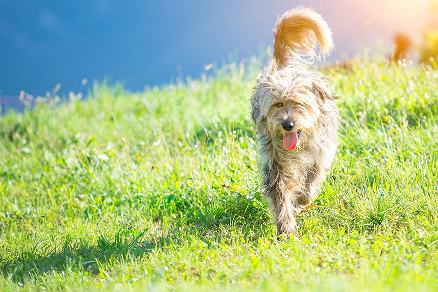 bergamasco loopt op gras