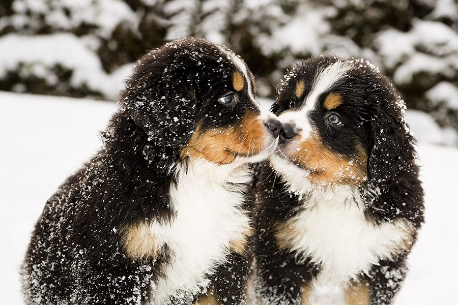 berner sennenhond puppies