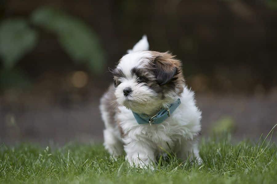 boomer hond aan het rennen
