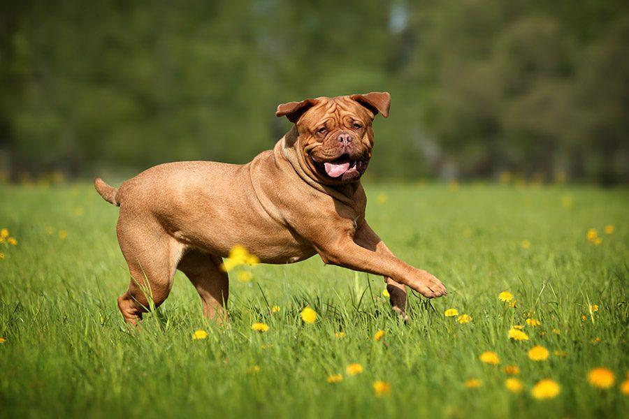 bordeauxdog rent op grasveld