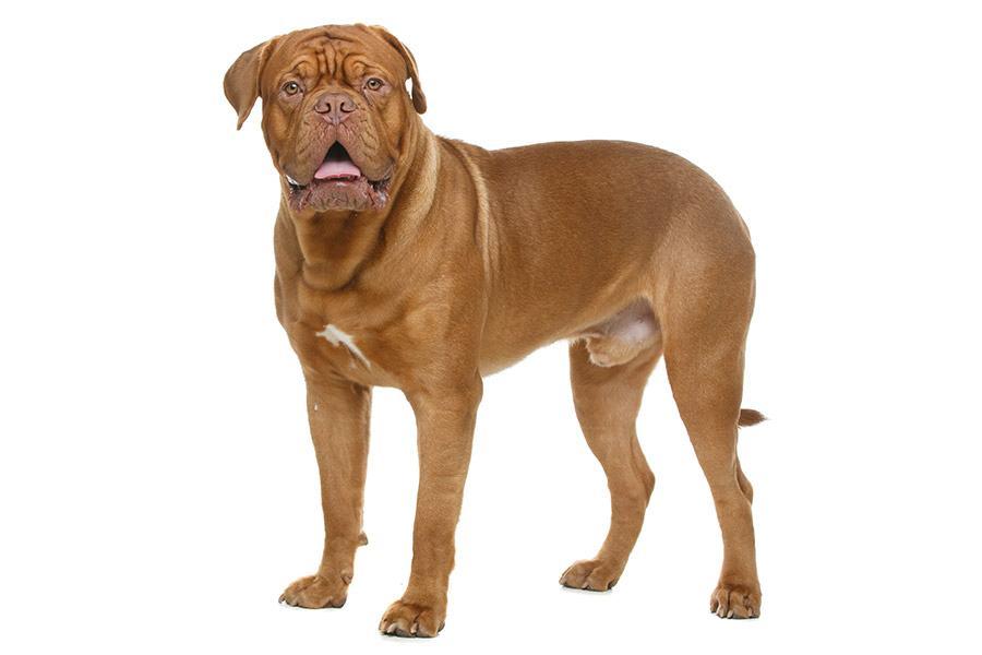 bordeauxdog uiterlijk