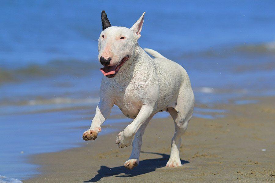 bull terrier rent op strand