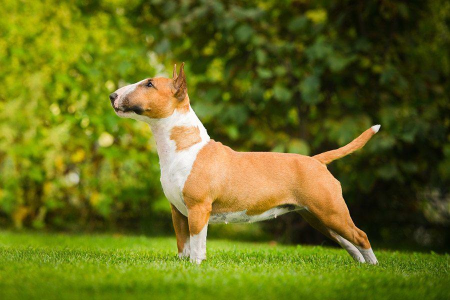 bull terrier uiterlijk