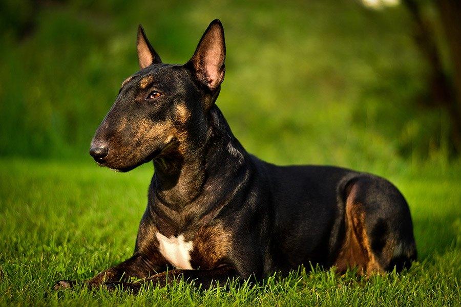 bull terrier verzorging en gezondheid