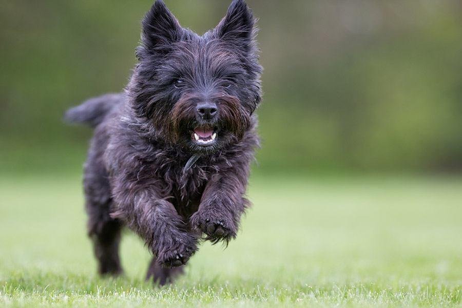 cairn terrier rent op gras