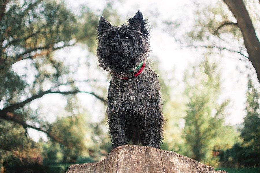 cairn terrier verzorging en gezondheid