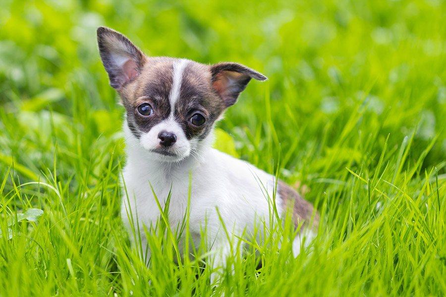 chihuahua pup opvoeding