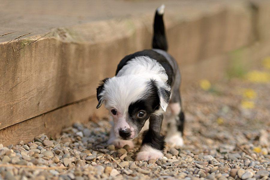 chinese naakthond puppy