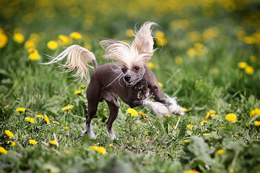 chinese naakthond rent op gras