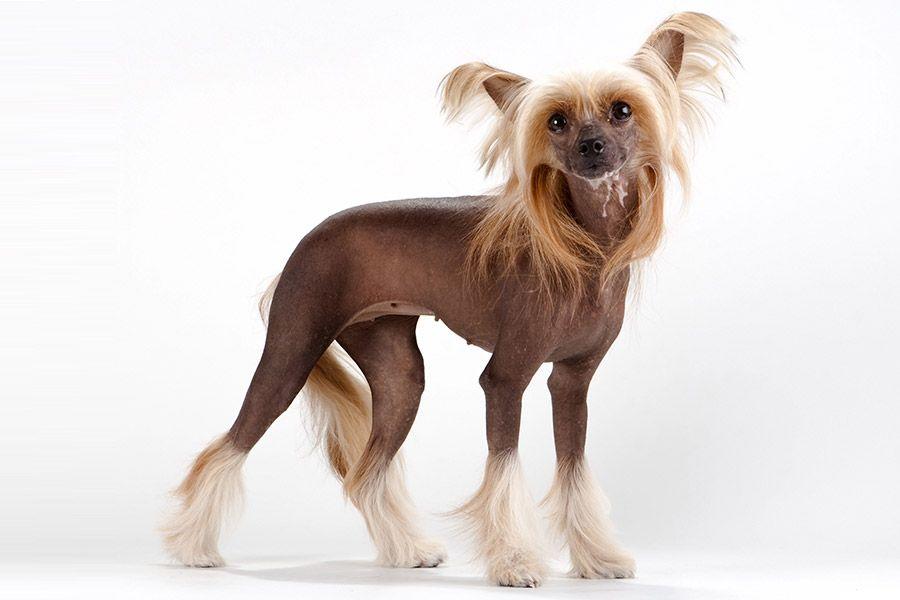 chinese naakthond uiterlijk