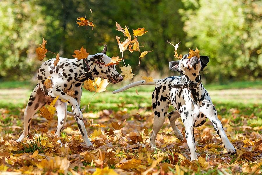 dalmatiers spelen met bladeren