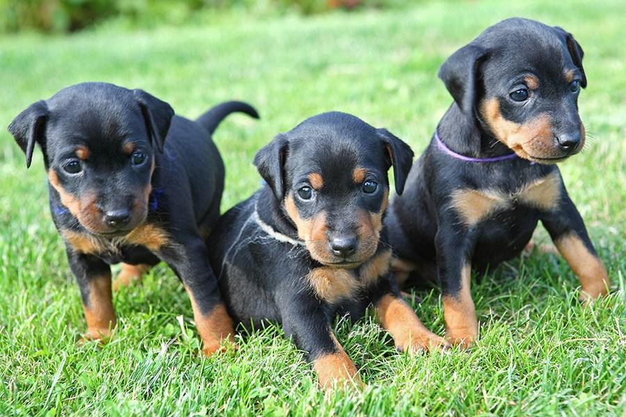 dobermann pinscher pups