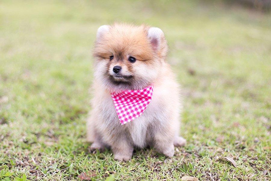 dwergkees puppy