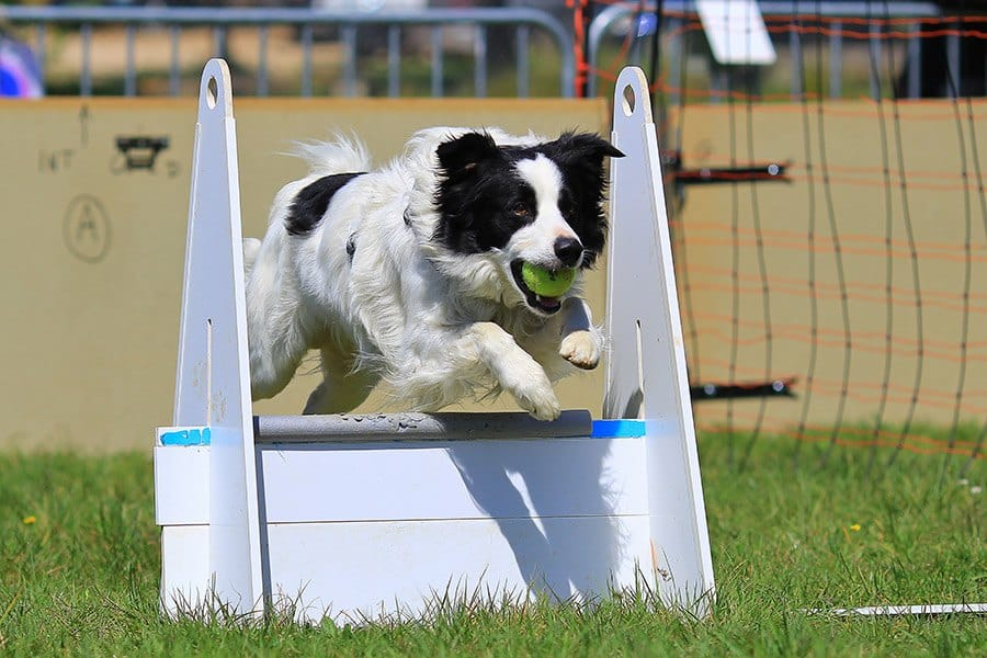 Hondensport: flyball