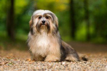 ad1cd567328 Lijst van hondenrassen • Pagina 2 van 8 • Gelukkige Honden