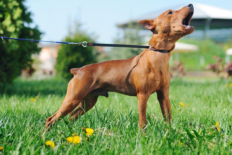 Honden blaffen afleren: hoe voorkom je dat je hond blaft?