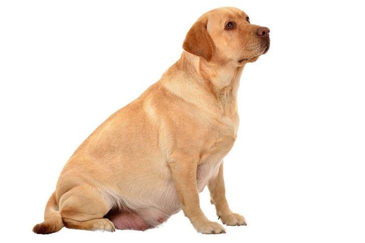 voeding drachtige hond