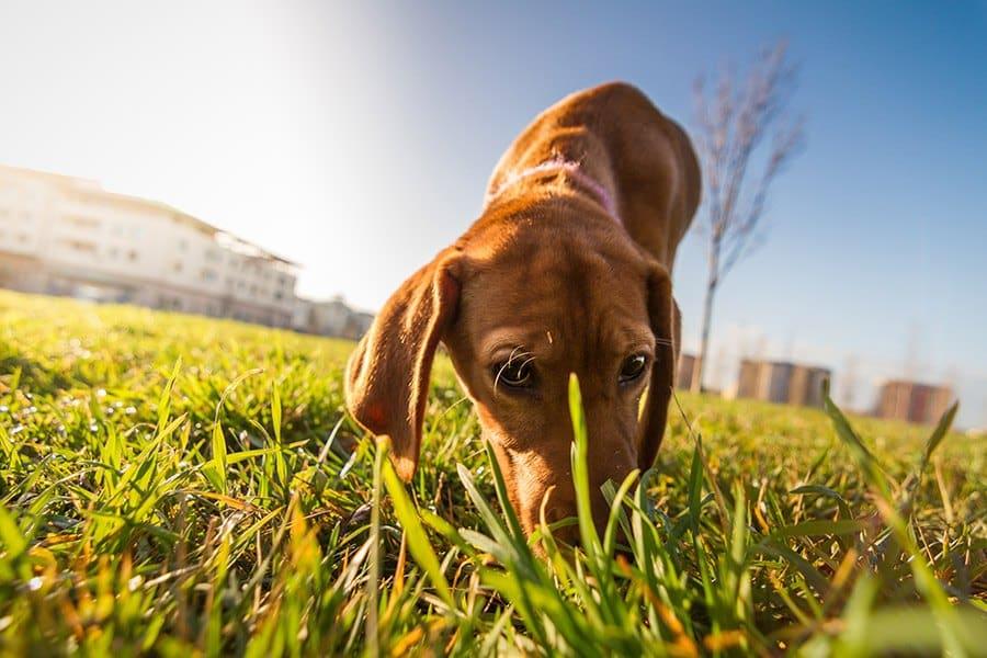 hond eet poep in gras