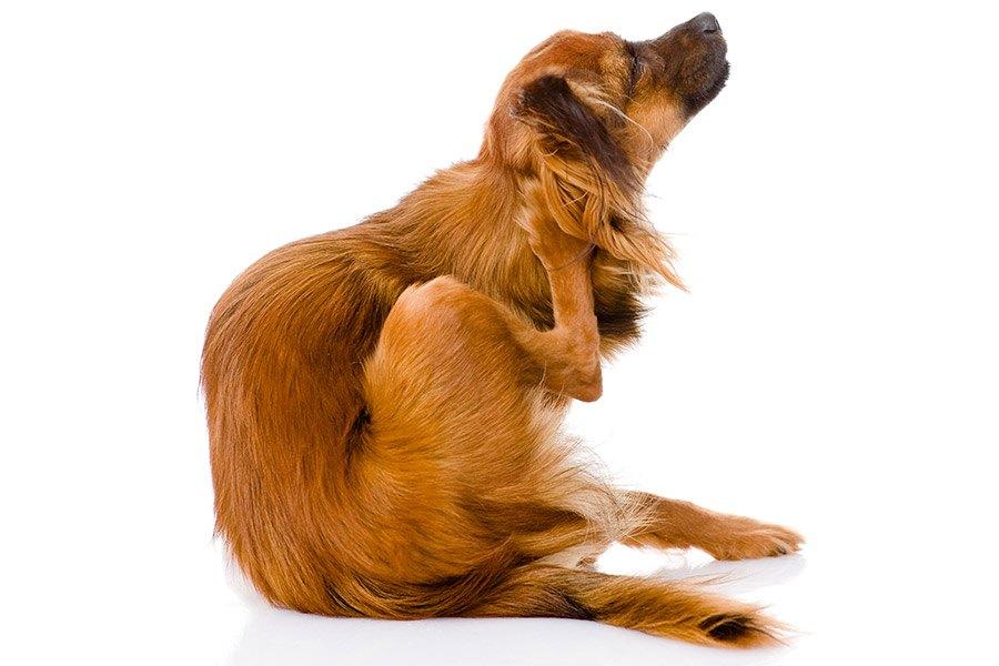 Hond heeft jeuk en krabt veel