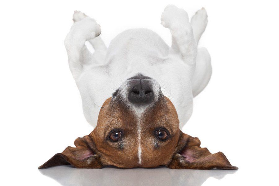 hond heeft opgeblazen buik