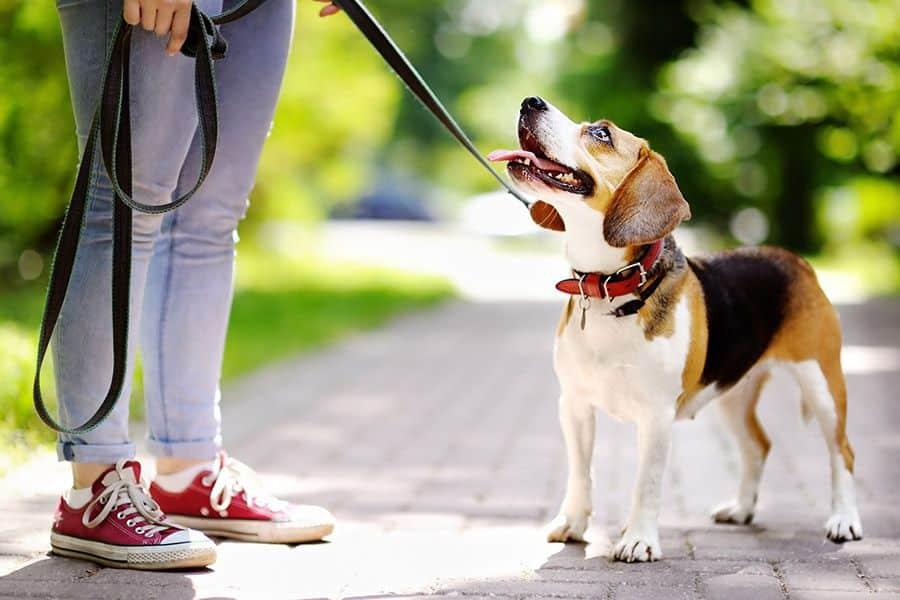 Je hond leren aan de voet te lopen