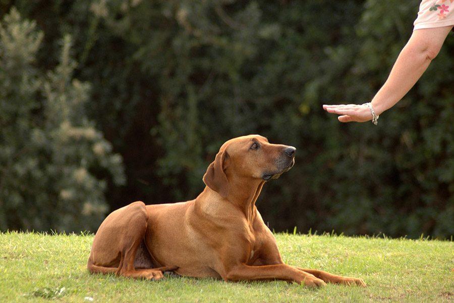 Hond leren te liggen op commando