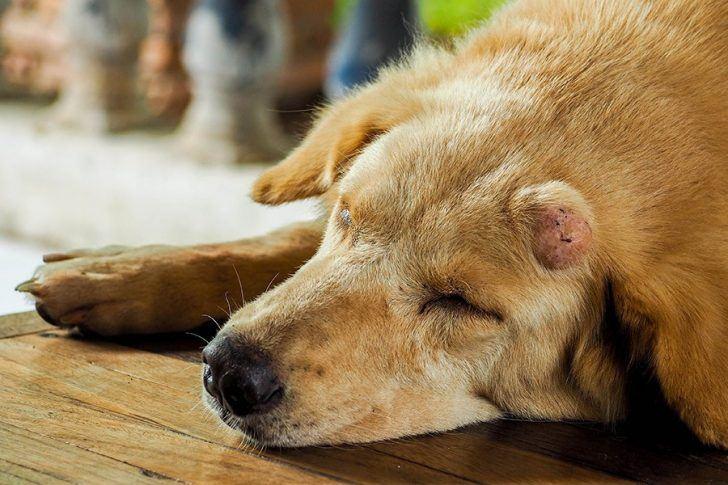 hond met kanker tumor op hoofd