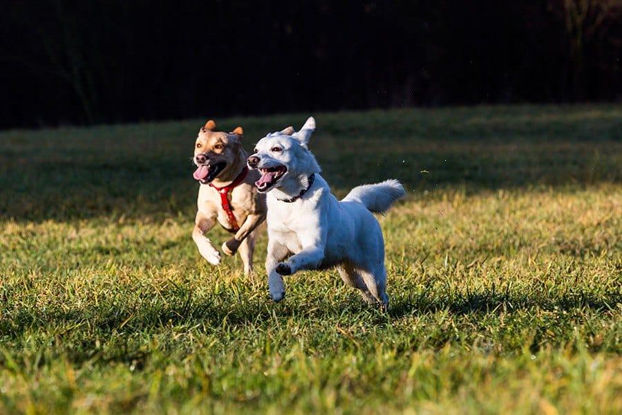 honden lopen los op grasveld