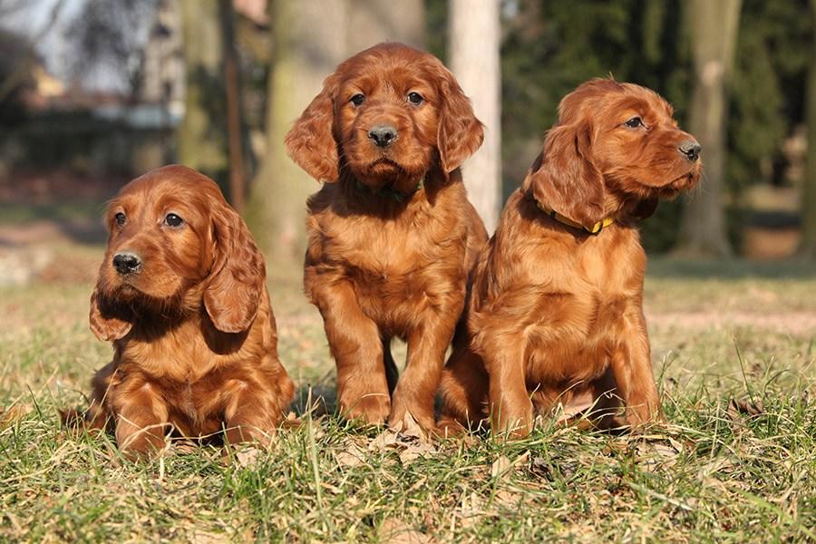 ierse setter puppies