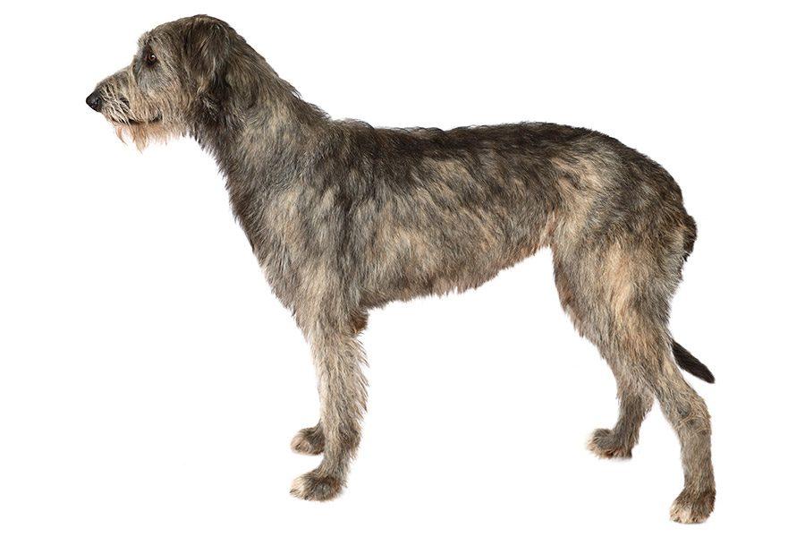 Ierse Wolfhond  Deerhound