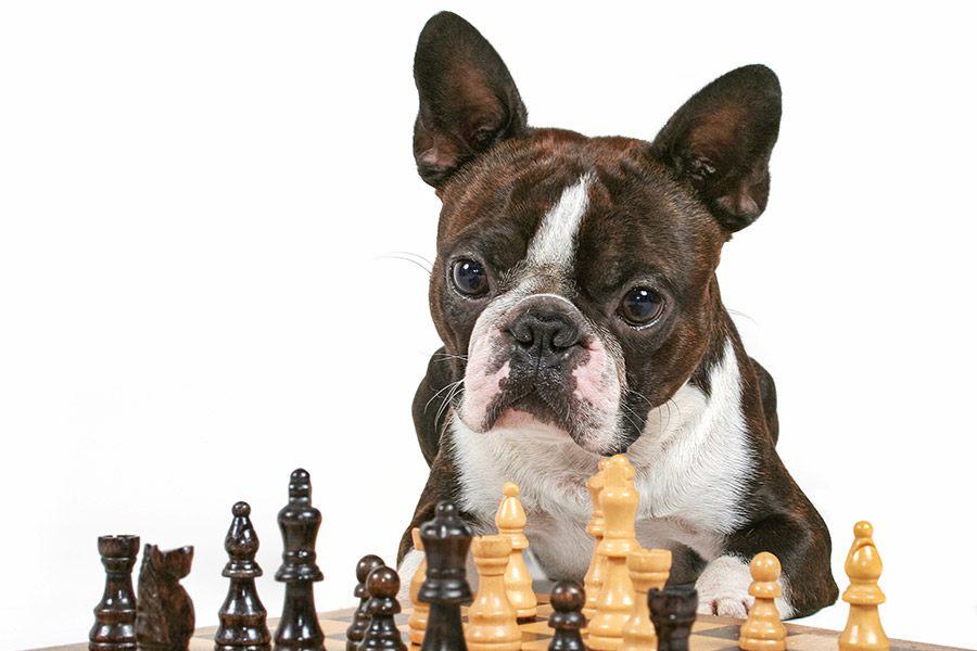 De intelligentie van een hond testen met IQ test