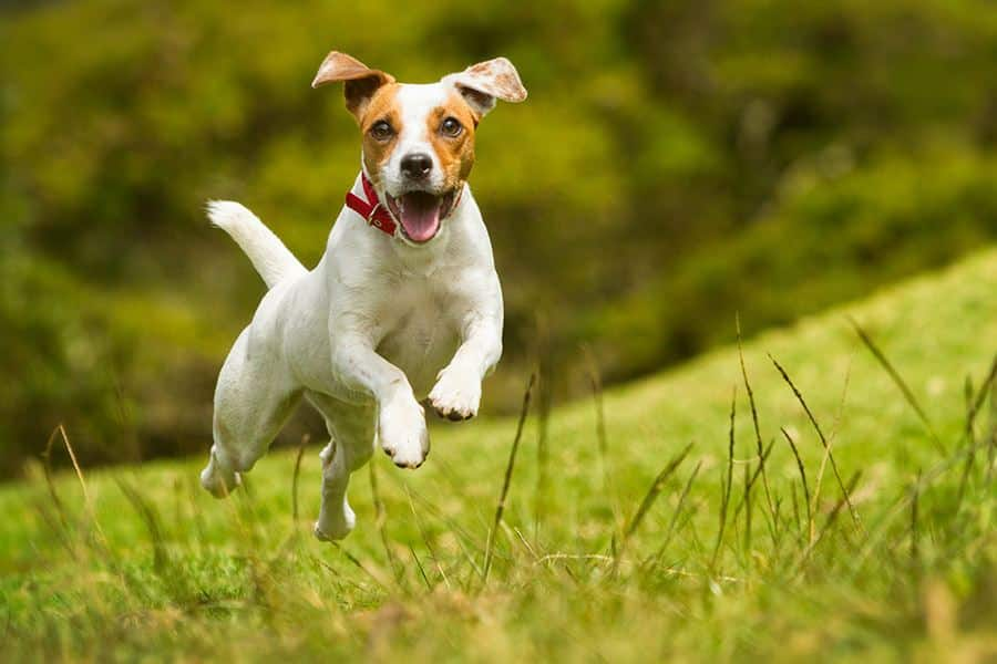 jack russell terrier uitlaten