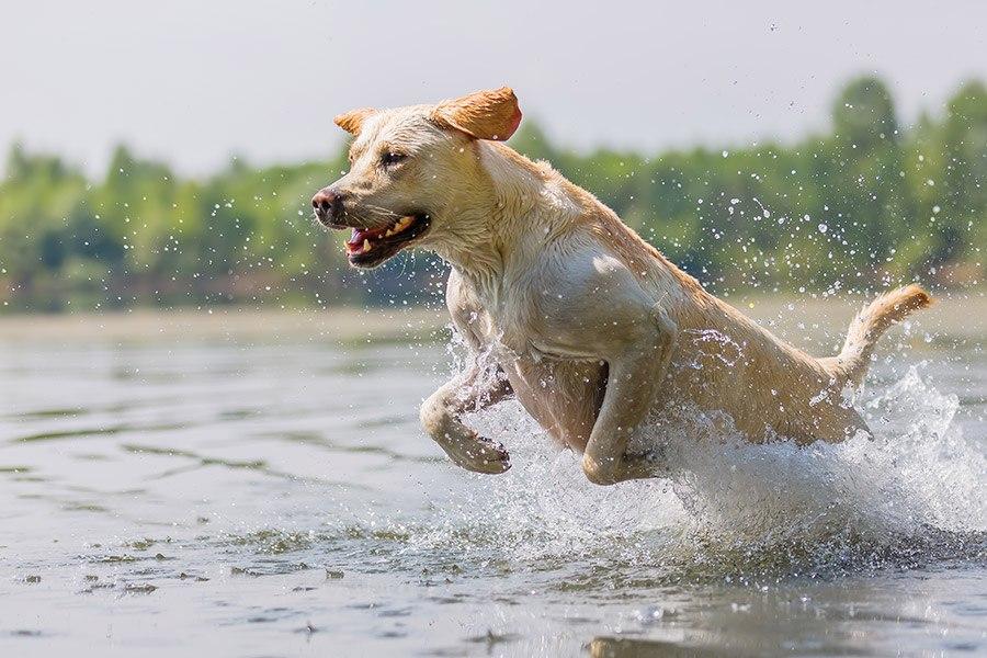 labrador retriever rent in water