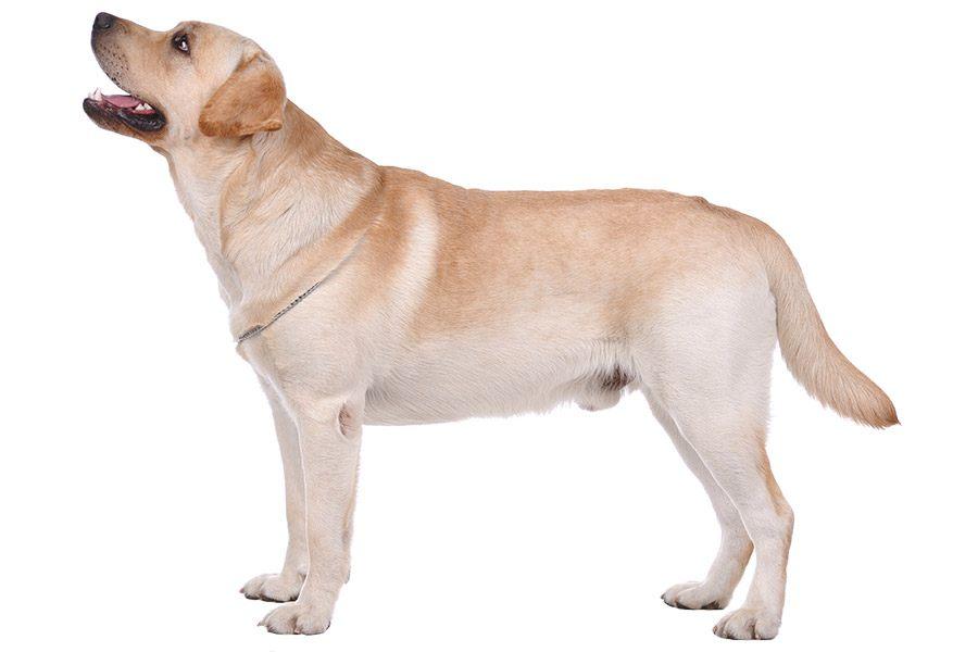 labrador retriever uiterlijke kenmerken