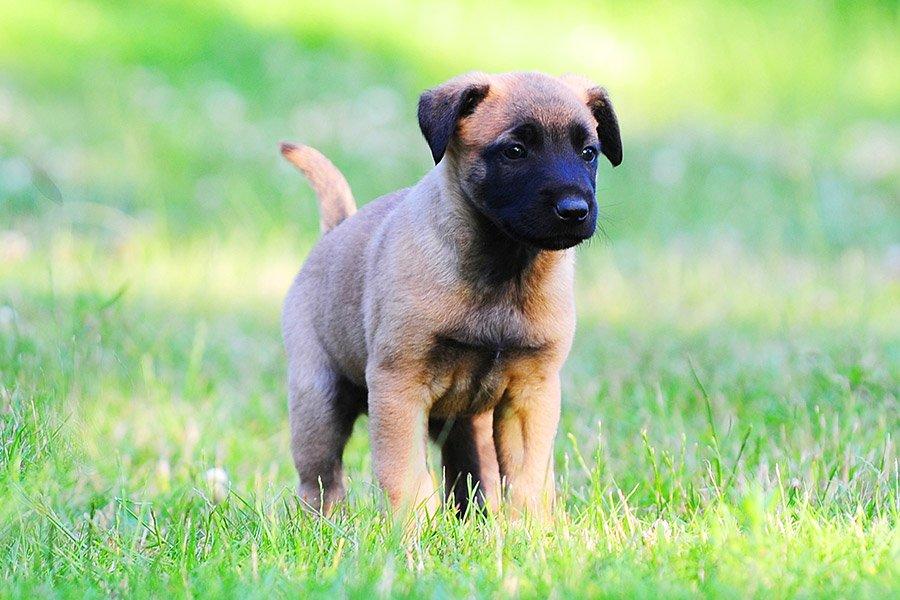 mechelse herder puppy