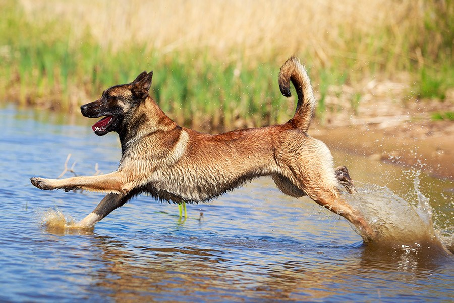 mechelse herder rent in water