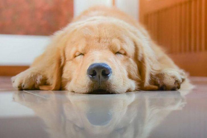 narcolepsie honden